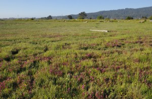 Restored marsh with Humboldt Bay owl's clover