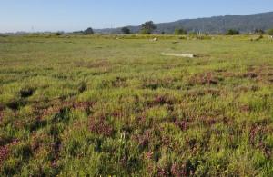 Restored marsh with Humboldt Bay owl's clover