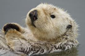 Photo of sea otter in the ocean