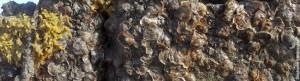 oysters_San Rafael (1)
