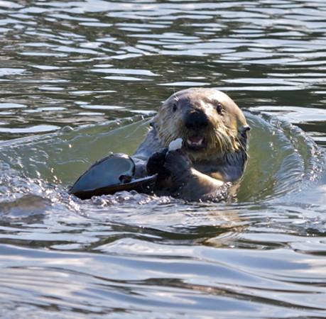 California Sea Otter in Elkhorn Slough