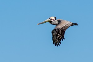 Brown Pelican in flight at Moss Landing by Don DeBold