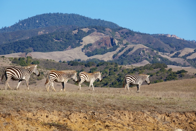 02 zebras on Hearst Ranch