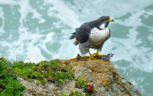 Peregrine at Devils Slide (Photo by P Kobernus)