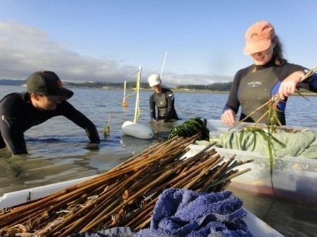 Eelgrass planting in the SF Bay