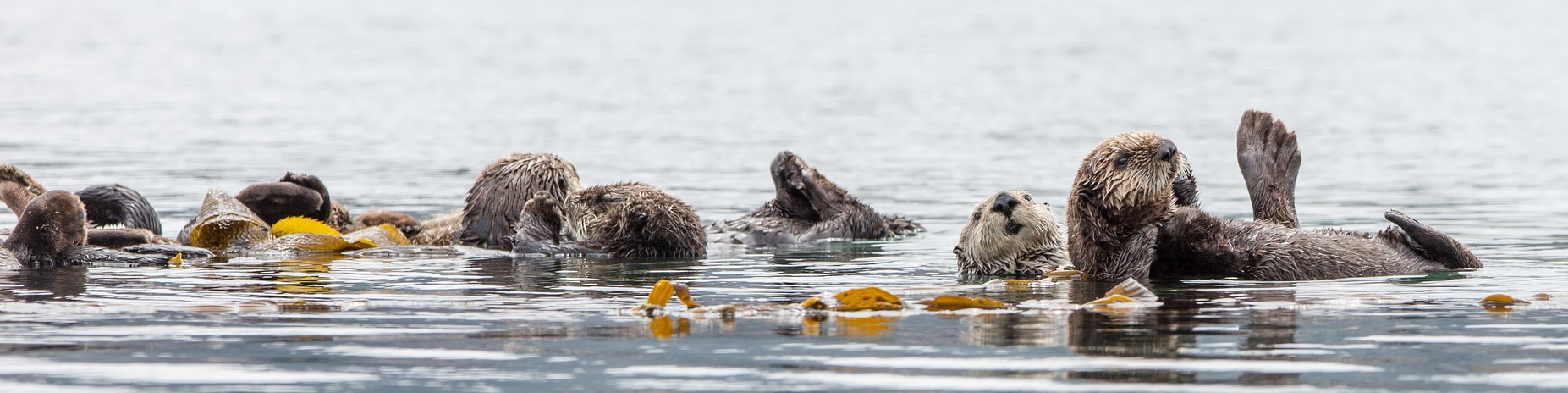 California Sea Otter Fund: Grant Applications Due September 7, 2018
