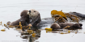 Photo of Sea Otter and Pup
